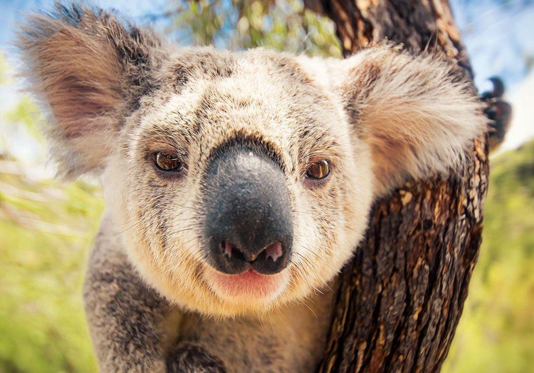 1600x726-koala