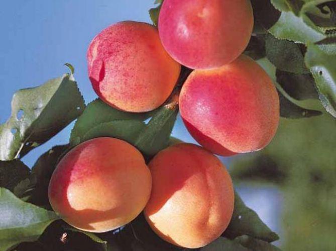 Arbres fruitiers : le bon choix (image_2)