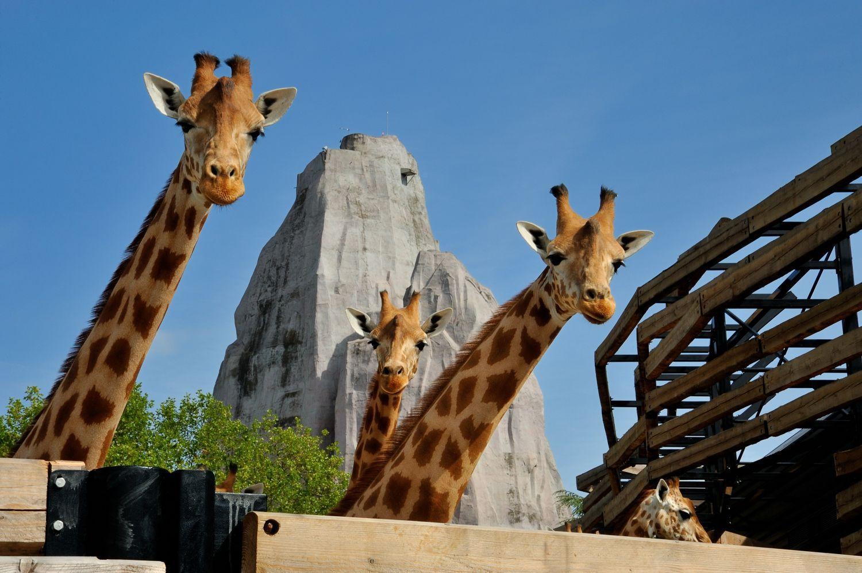 girafe 4292 � F-G Grandin MNHN