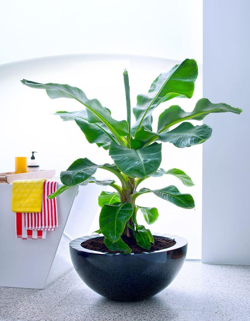 comment entretenir un bananier ? - elle décoration