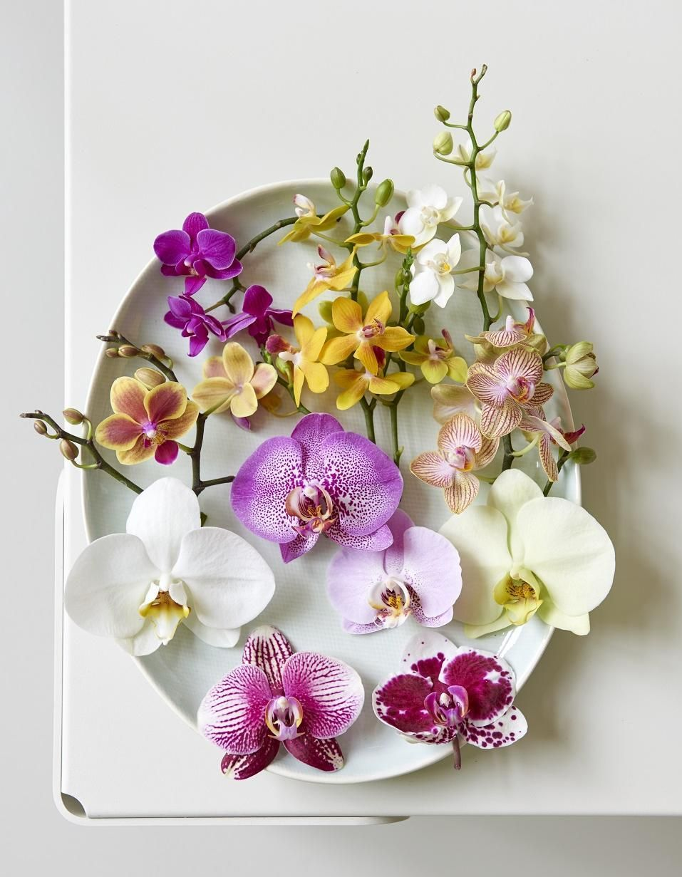 Phalaenopsis ok1