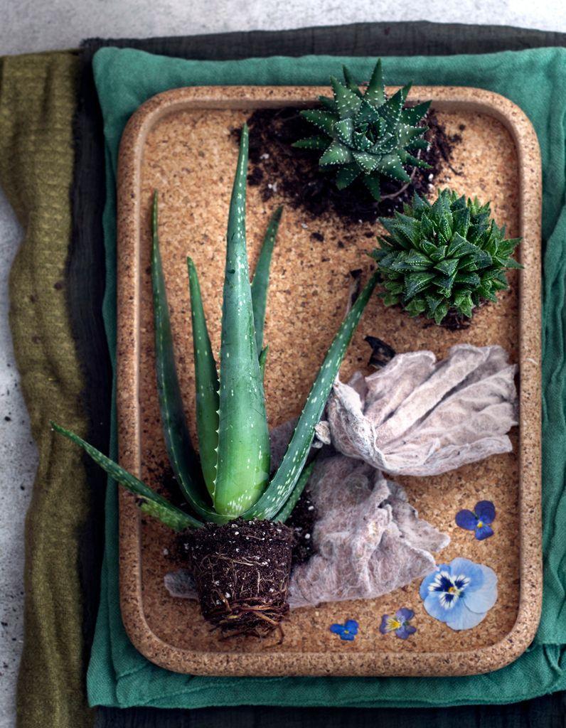 Comment Entretenir Une Plante Aloe Vera comment entretenir un aloe vera ? - elle décoration