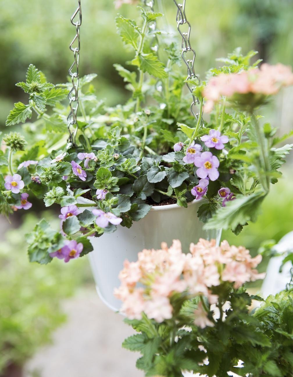 Verveine des jardins OK