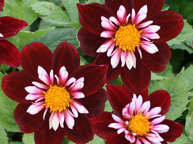 5 magnifiques dahlias à admirer dans le jardin