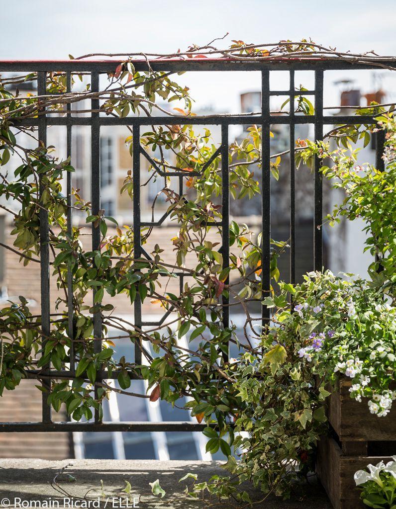 jasmin-etoile-pour-balcon