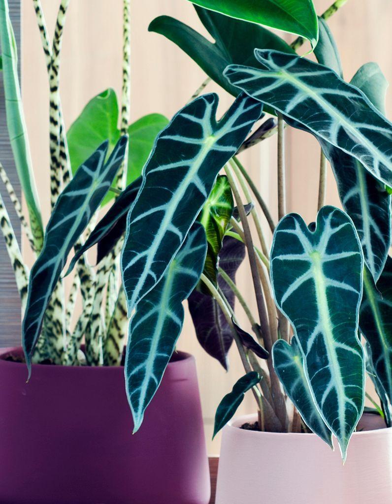 plante alocasia