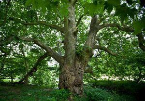 Quel sera l'arbre de l'année 2015 ?
