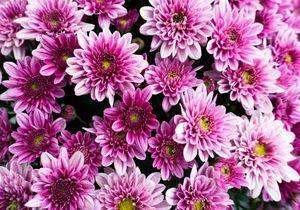 Comment bouturer un chrysanthème ?