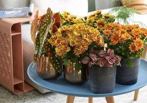 Zoom sur une plante résolument symbolique : Le Chrysanthème