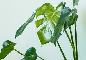 Zoom sur une plante résolument sauvage : le Monstera