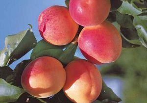 Tout savoir sur les arbres fruitiers
