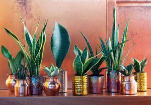 Zoom sur une plante résolument indestructible : le Sansevieria