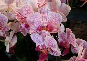 Journées des Orchidées aux Jardins du Manoir d'Eyrignac