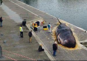 Cette photo d'un cachalot échoué à Paris intrigue le Web