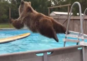 L'anti-blues du dimanche soir : cet ours sait probablement mieux nager que vous