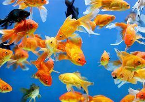 Rêver de poissons : notre interprétation