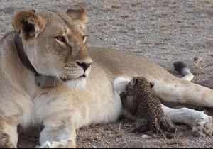 Du jamais vu : Une lionne adopte et nourrit un bébé léopard !