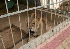 Comment une lionne a-t-elle pu blesser une fillette de 16 mois ?