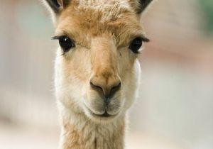 Les lamas Valérie et Ségolène provoquent la colère d'une élue