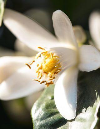 #ELLEdécouvre : la fleur d'oranger, des champs au parfum