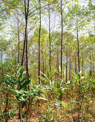 #ELLEDécouvre : le benjoin du Laos, de l'arbre au parfum