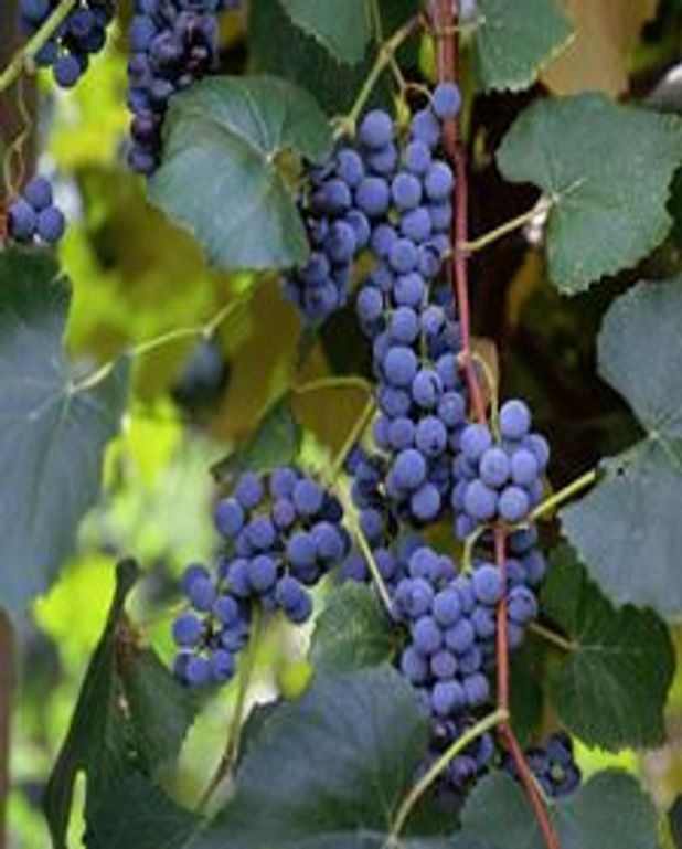 Perdrix aux raisins Concorde