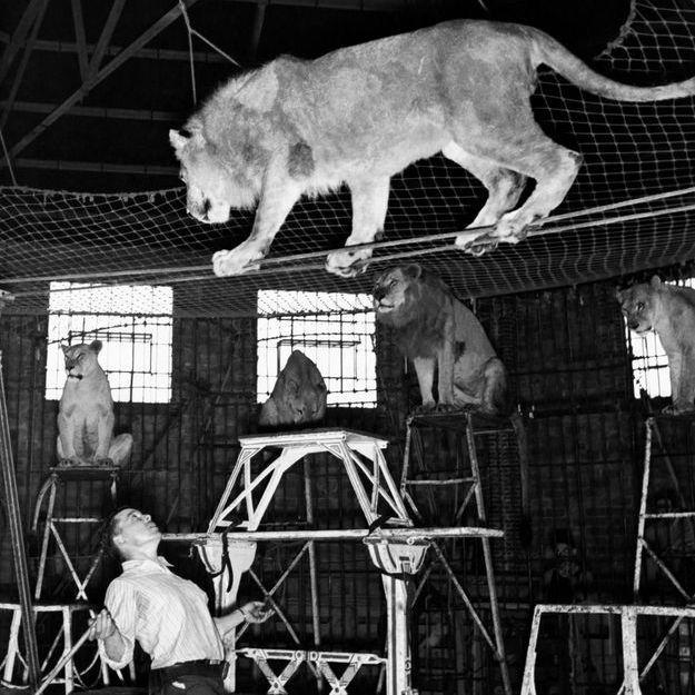 Un Un Un Attaquer Attaquer Attaquer Attaquer Emmène Lion Au Élèves Se Ses Cirque Par Et Fait Elle 8qAvpWv