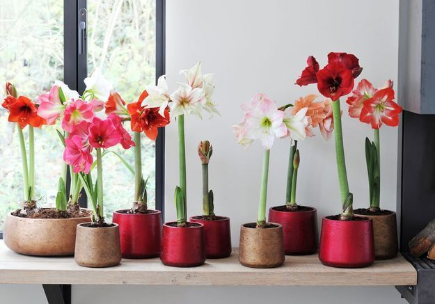 Comment entretenir une amaryllis elle d coration for Amaryllis plantation en pot