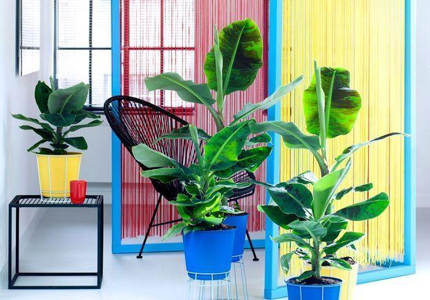 zoom sur une plante rsolument tropicale le bananier