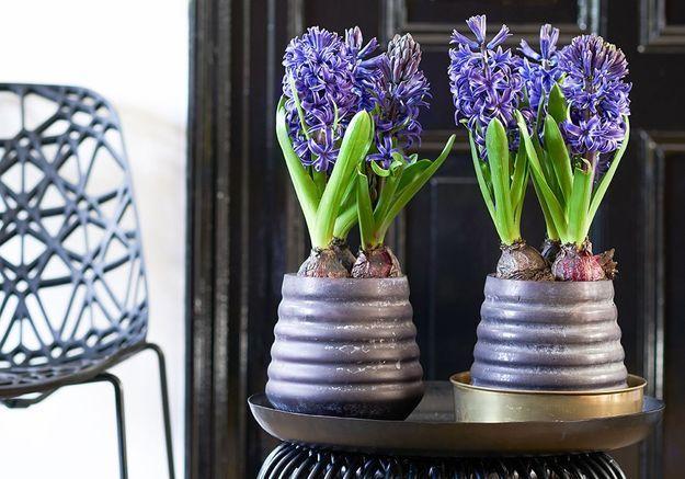 Zoom sur une plante résolument parfumée : la Jacinthe