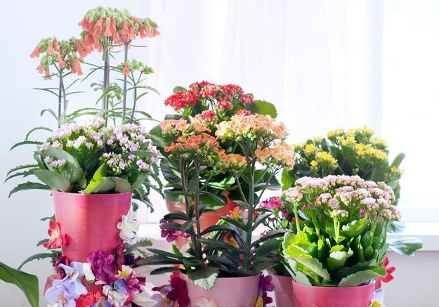 Zoom sur une plante résolument pop : le Kalanchoé