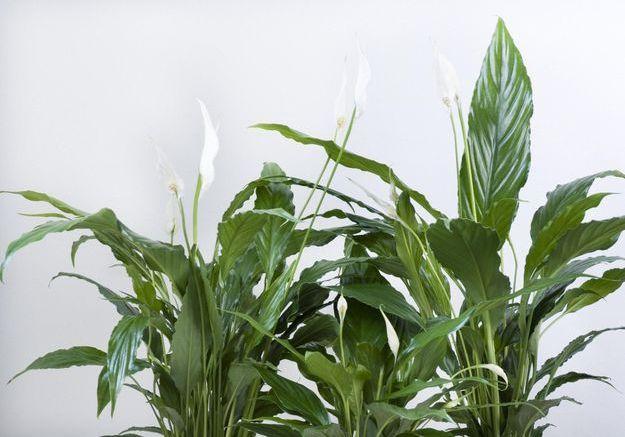 Le Spathiphyllum
