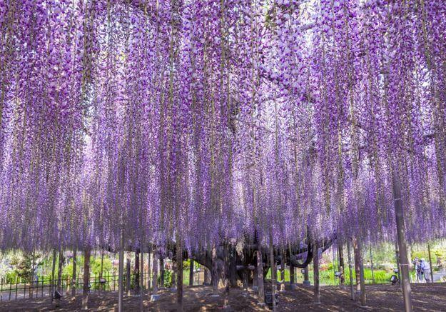 Kawachi Fuji : découvrez le plus incroyable des jardins japonais