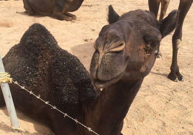 Faire un selfie avec un chameau noir