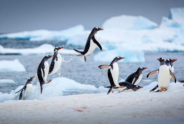 Des pingouins