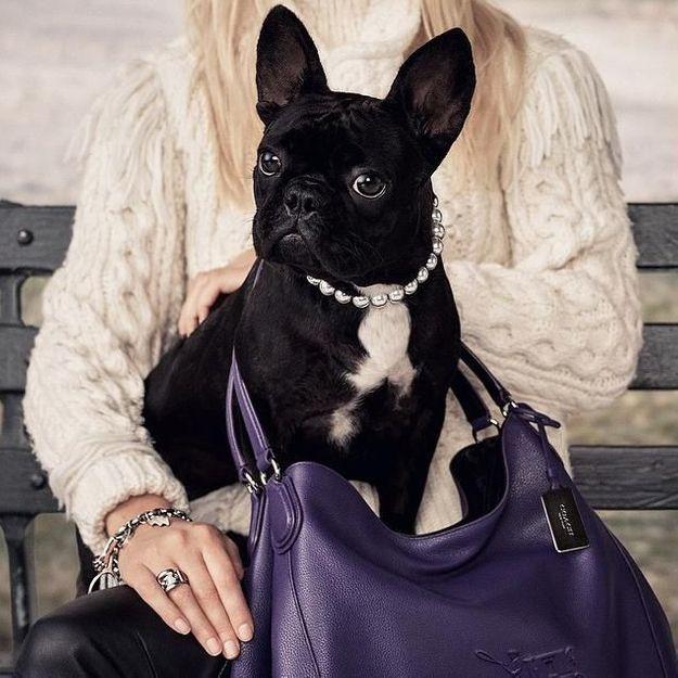 Lady Gaga : son chien, star de la nouvelle campagne de la marque Coach