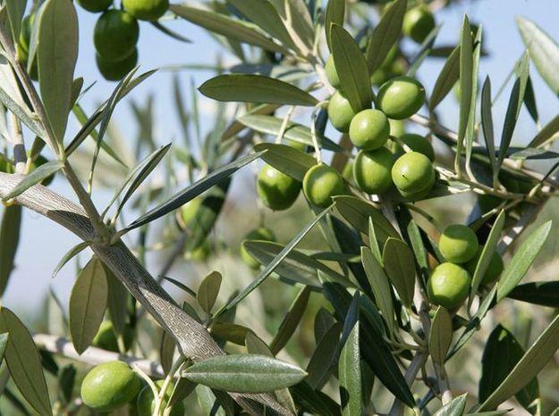 Tailler un olivier - Elle Décoration
