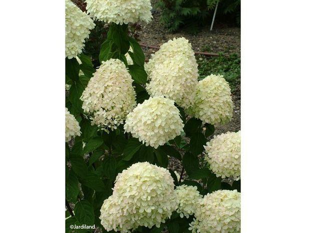 10. Arbuste Limelight (Hydrangea paniculata)