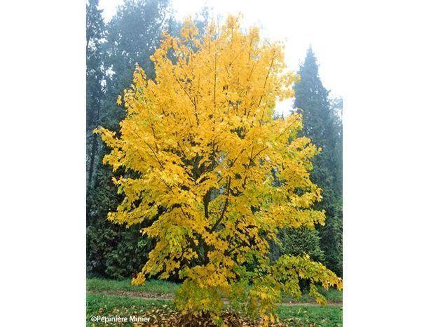 5. Arbre Aureum (Acer cappadocicum)