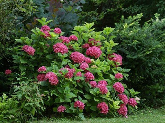 Massif fleuri avec hortensias