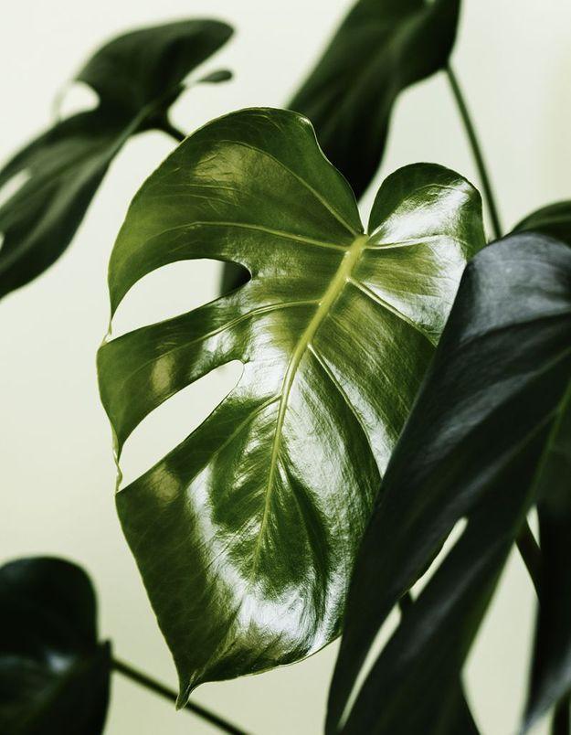 La plante idéale pour le Sagittaire : le monstera deliciosa