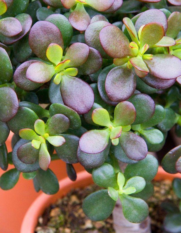 La plante idéale pour le Taureau : l'arbre de jade
