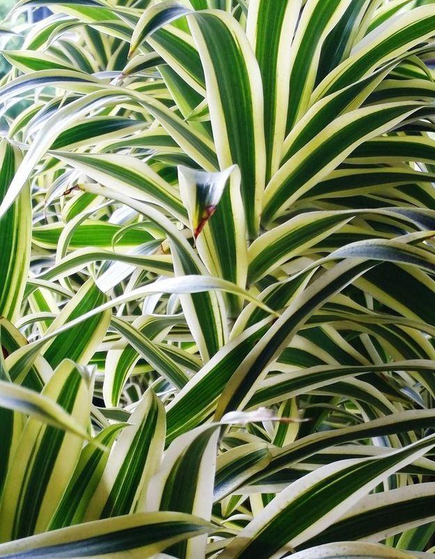La plante idéale pour les Poissons : la plante araignée (ou chlorophytum)