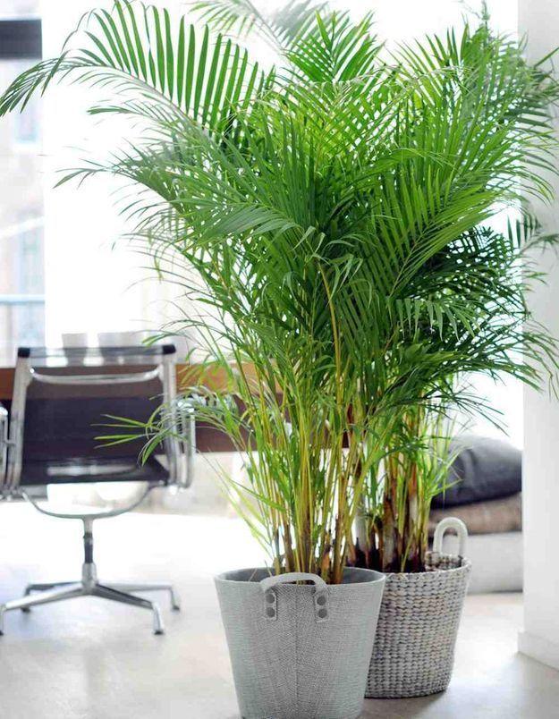 Le palmier nain