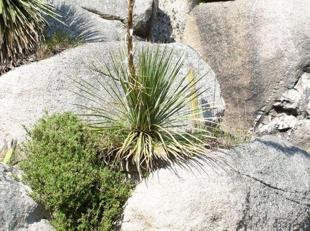 Agavaceae Dasylirion Glaucophyllum