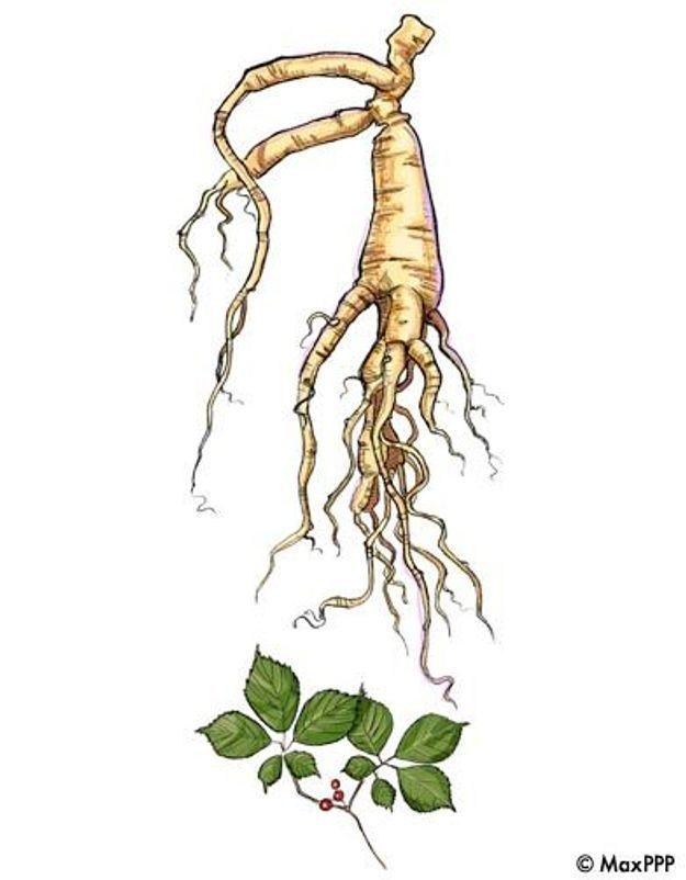 Le ginseng, une plante très en forme !
