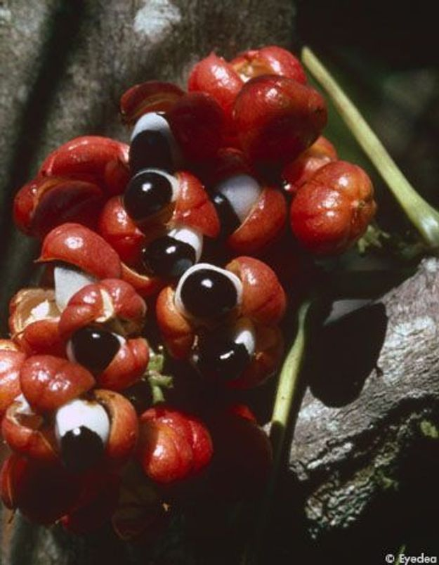 Le guarana booste notre hiver