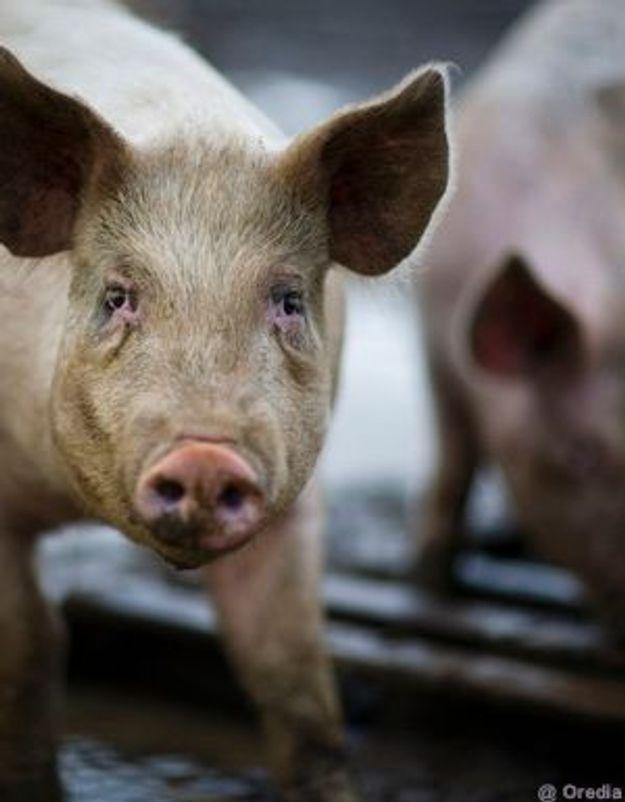 Grippe porcine : un enfant de 23 mois mort aux Etats-Unis