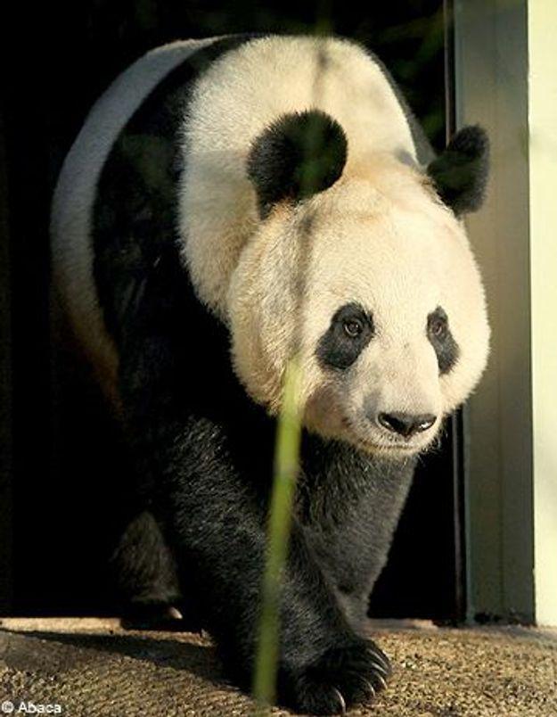 Polémique : un panda désigné femme de l'année