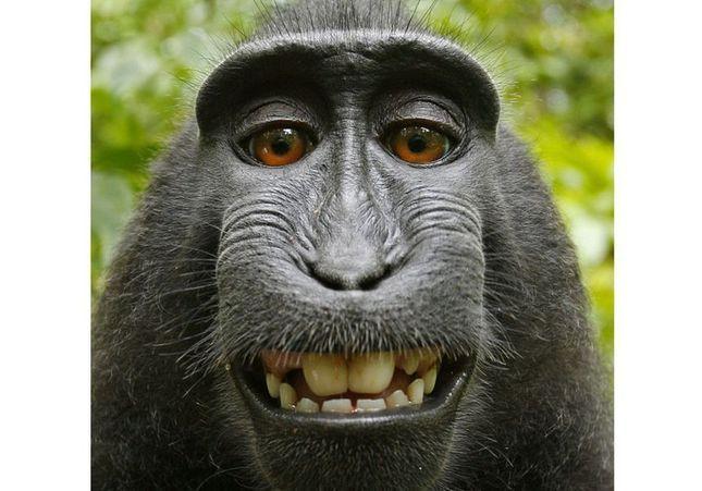 Un photographe poursuivi en justice par un singe à cause d'un selfie